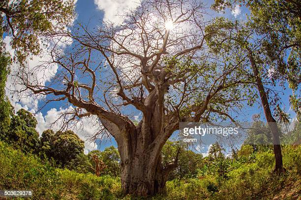Big baobab tree in Zanzibar