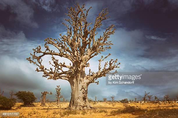 big baobab tree - senegal fotografías e imágenes de stock