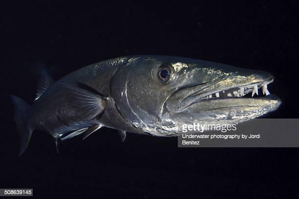 big barracuda - barracuda foto e immagini stock