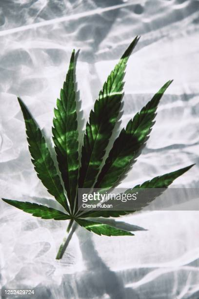 big beautiful hemp leaf on a white background - cannabinoid stock pictures, royalty-free photos & images