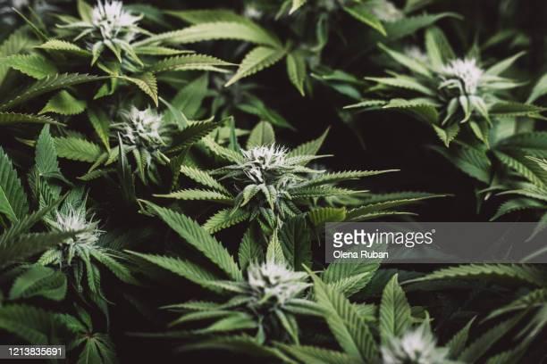 big beautiful leaves of marijuana close up - hashish photos et images de collection