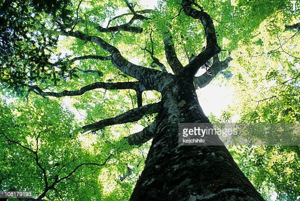 big beech - beech tree stock pictures, royalty-free photos & images
