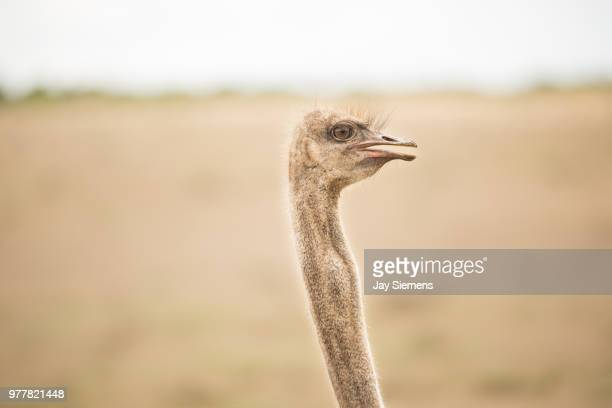 big bird - ostrich stock pictures, royalty-free photos & images