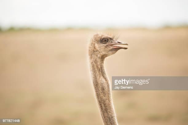 big bird - ostrich stockfoto's en -beelden
