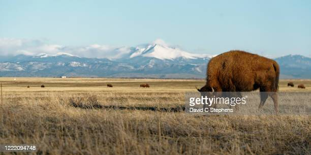 big bison grazes in front of snowcapped rocky mountains - commerce city colorado stock pictures, royalty-free photos & images