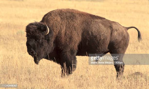 Big Bison In The Grassland