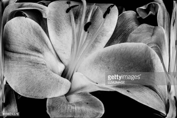 Big black and white lily.