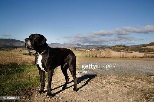 Big Black Dogo Argentino Stock Photo | Getty Images