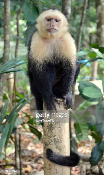 big boss - capuchin monkey stock pictures, royalty-free photos & images
