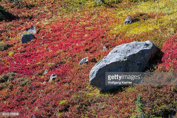 Big boulder surrounded by Huckleberry bushes with fall colors at the meadows at Paradise in Mt. Rainier National Park in Washington State, USA.