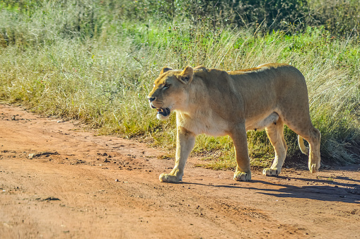 Big brown African lioness roaming freely in a game reserve 1214369248