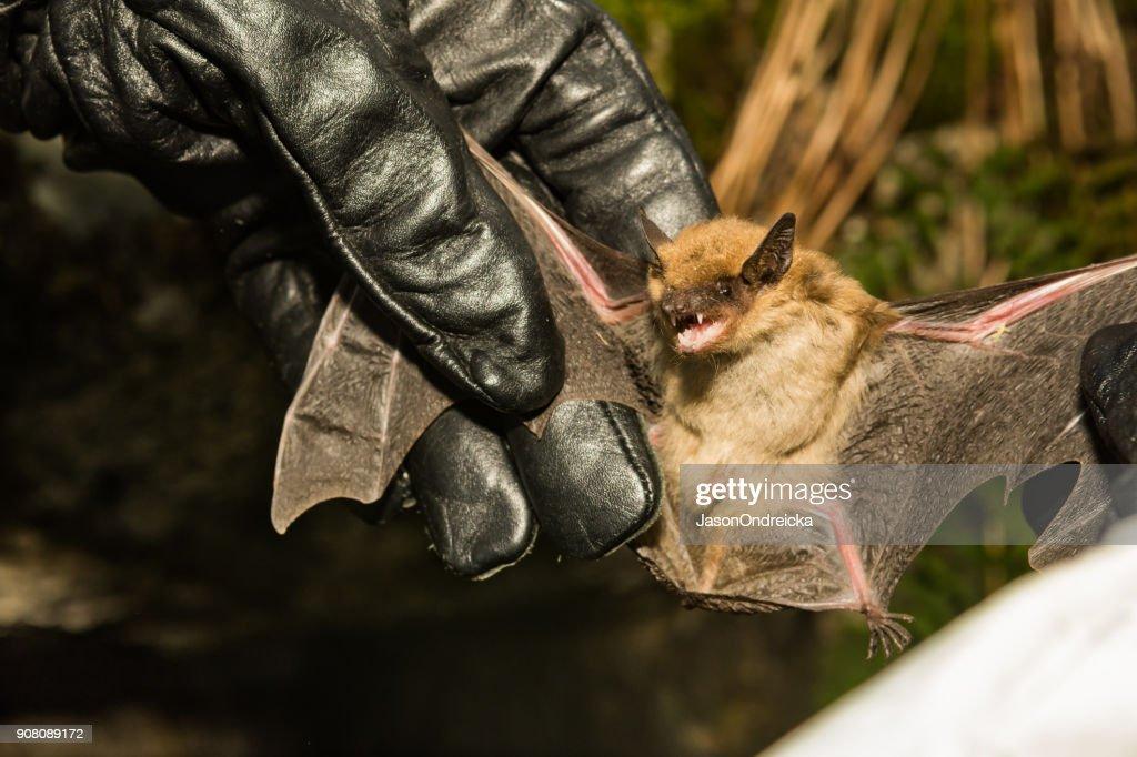 Big Brown Bat : Stock Photo