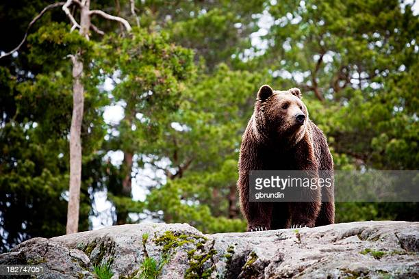 Big brown bear in forest
