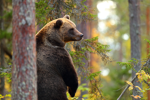Big brown bear standing in a forest 1044892450