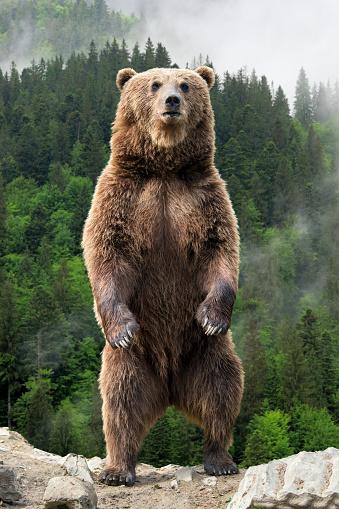 Big brown bear standing on his hind legs 1030170454