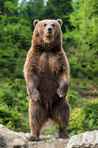 Big brown bear standing on his hind legs 968792794