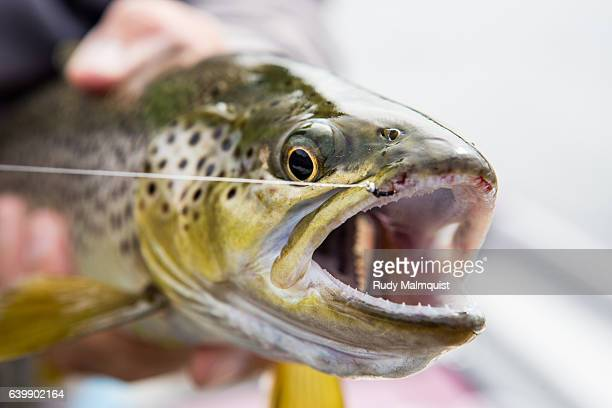 big brown caught with a small fly - brown trout stock pictures, royalty-free photos & images