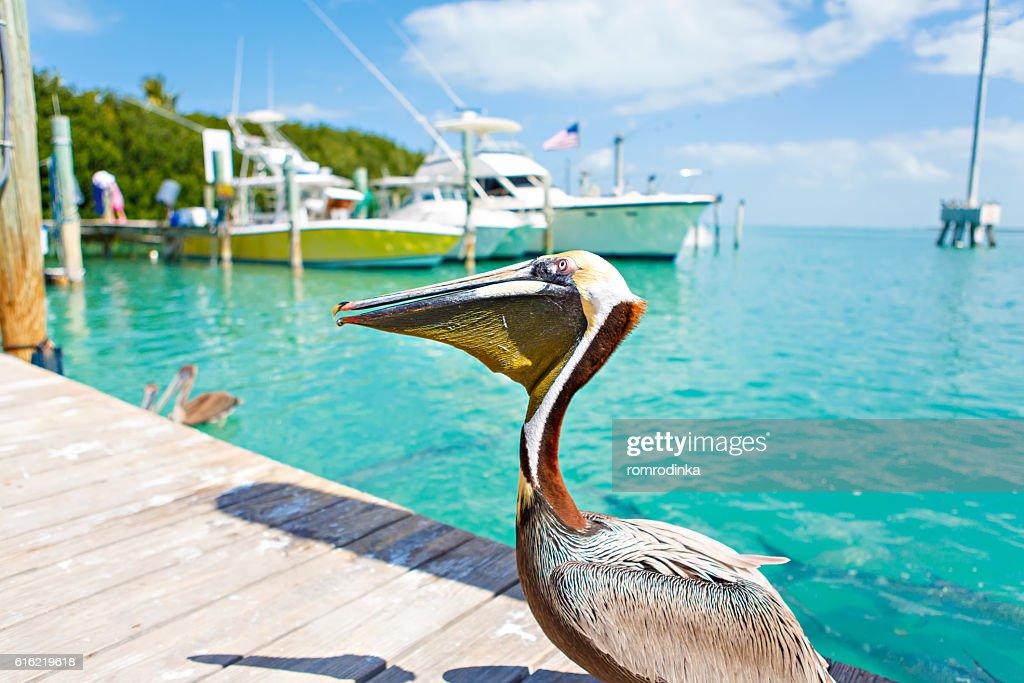Pélicans bruns gros Islamorada, dans les Clés de Floride : Photo
