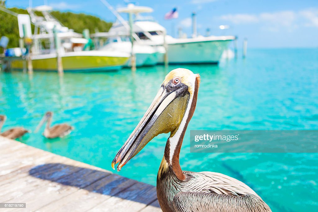Big brown pelicans in Islamorada, Florida Keys : Stock Photo
