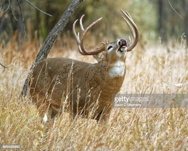 big buck exhibits flehmen response - white tail deer stock photos and pictures