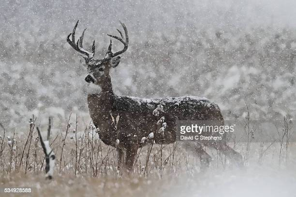 big buck in snow storm - white tail deer stock photos and pictures