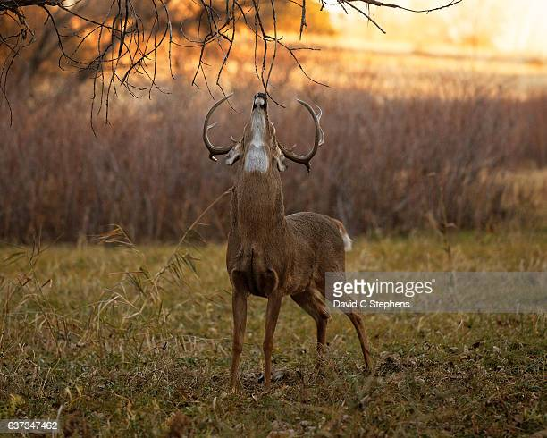 Big Buck Marking