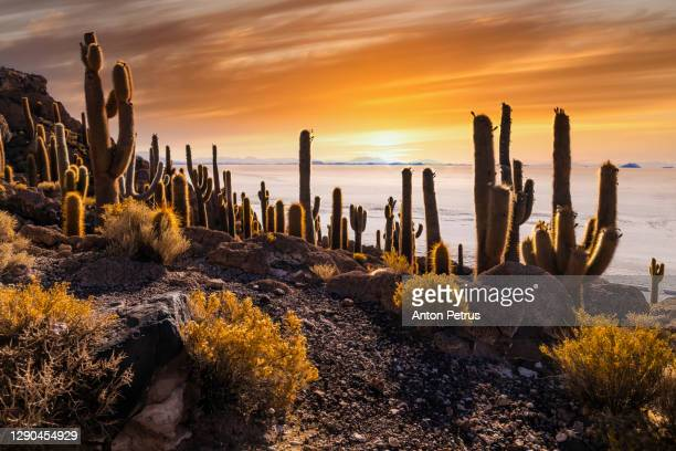 big cactus on incahuasi island at sunset, salt flat salar de uyuni, altiplano, bolivia - altiplano stock pictures, royalty-free photos & images