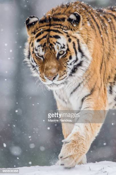 big cat - siberian tiger stock pictures, royalty-free photos & images