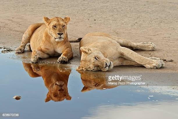 Lion mirror cat Cat And