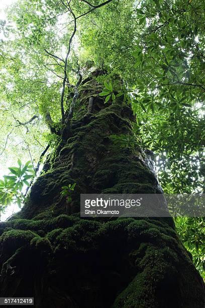 Big cedar in Japan