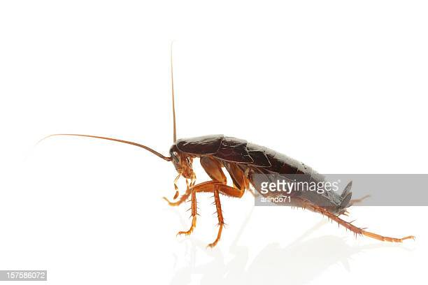 big cockroach (xxxl) - cockroach stock photos and pictures