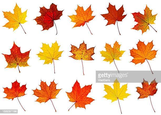 big collection of autumnal leaf - esdoornblad stockfoto's en -beelden