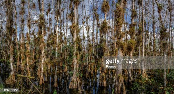 big cypress forest - bald cypress tree stock photos and pictures