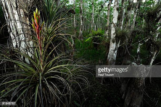 bromeliads among cypress trees. - bromeliad stock photos and pictures