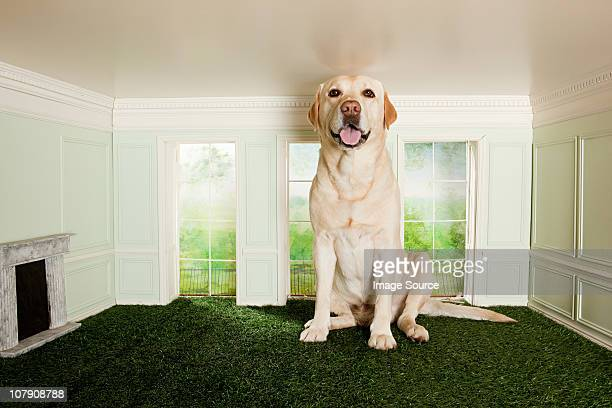 big dog in a small room - london breed stock pictures, royalty-free photos & images