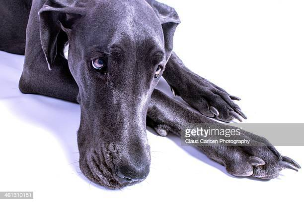 big dog posing - great dane stock pictures, royalty-free photos & images