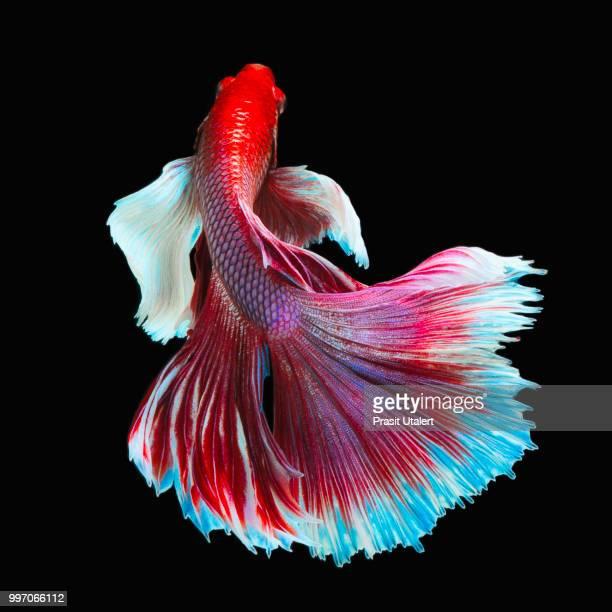 big ear halfmoon white-red betta - beeldmanipulatie stockfoto's en -beelden