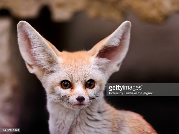 big ears! - fennec fox stock photos and pictures