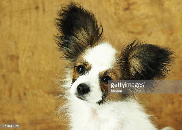 big ears - papillon dog stock photos and pictures