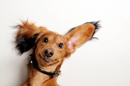 Big ears, upside down. 133441603