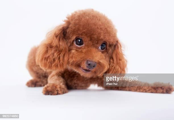 big eyes poodle - caniche toy photos et images de collection