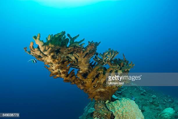 Big Fire Coral at bottom of Wreck HIJMS Nagato Battleship, Marshall Islands, Bikini Atoll, Micronesia, Pacific Ocean