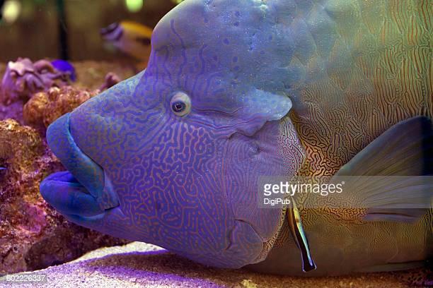 big fish and small fish - メガネモチノウオ ストックフォトと画像