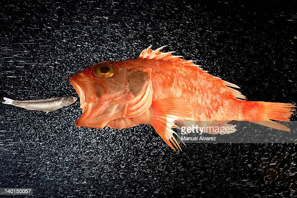 big fish eat little fish - big fish stock pictures, royalty-free photos & images