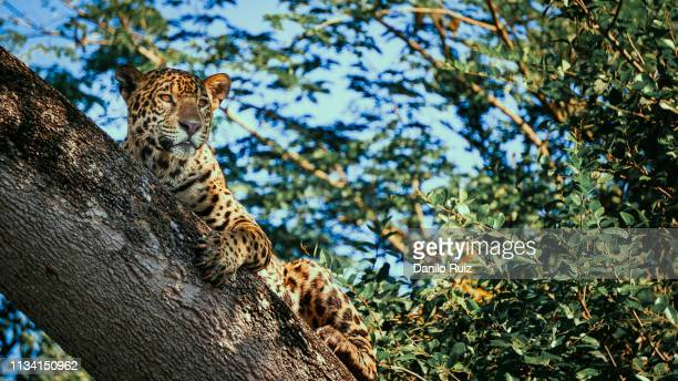 big five jaguar pantanal brazil safari leopard resting on tree wild animal watching - jaguar stock photos and pictures