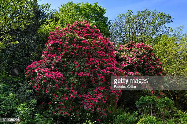 Big Flowering Rhododendron Tree On The Shores Of Lake Maggiore, Northern Italy