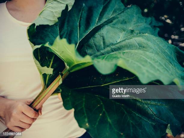 big fresh rhubarb in own garden. - guido mieth stock pictures, royalty-free photos & images