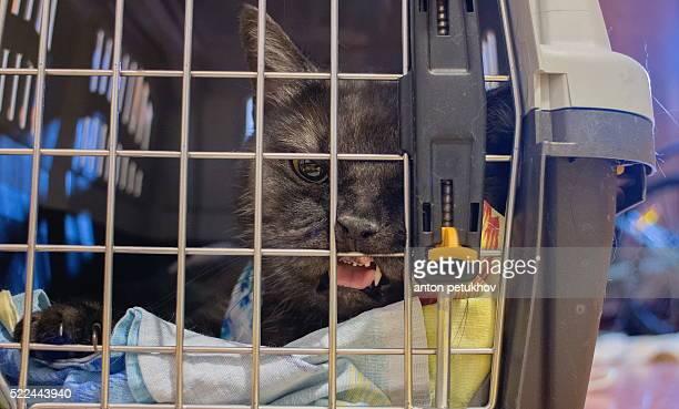 Big gray cat sitting in plastic cage