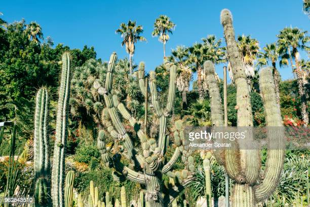 big green cactuses growing in a park in barcelona - montjuic stock pictures, royalty-free photos & images