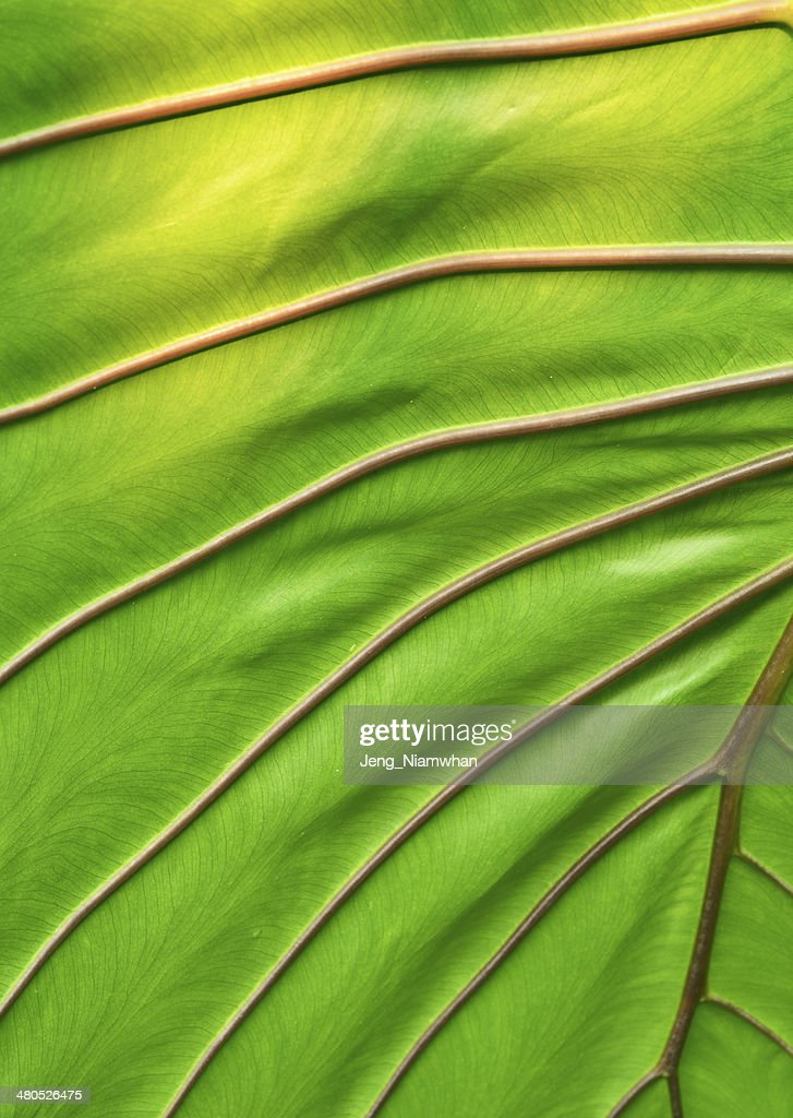 big green leaf : Photo